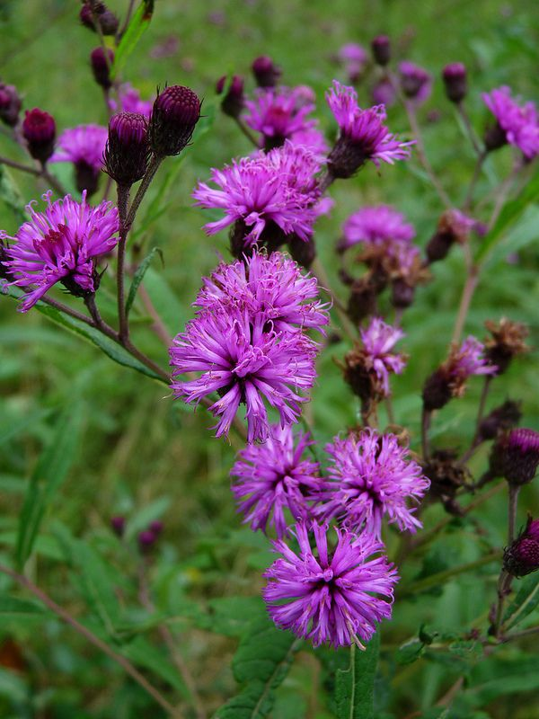 new york ironweed  vernonia noveboracensis  perennial zone 4
