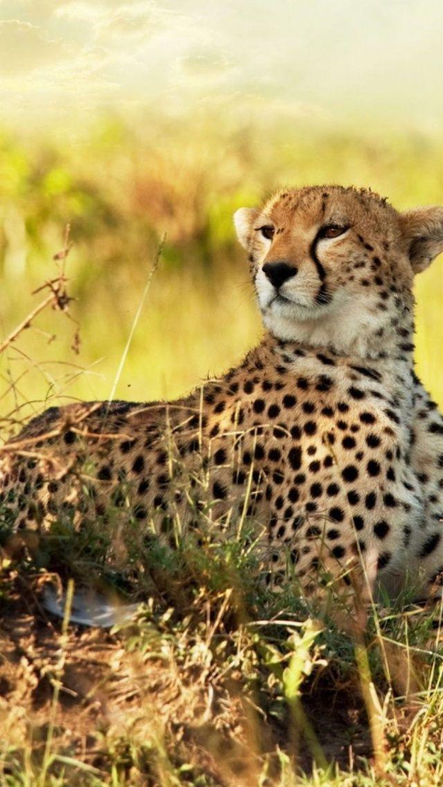 Cheetah Wallpaper For Phone