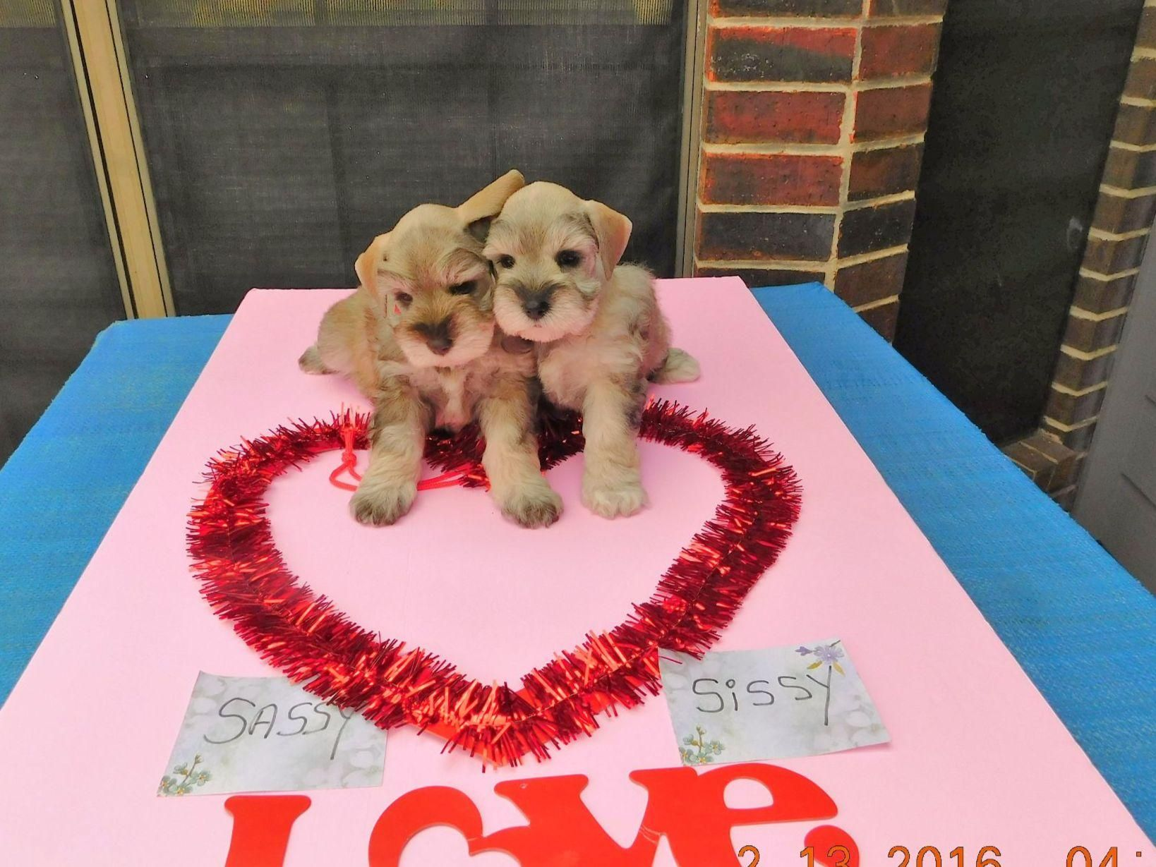 W W Baxter In College Station Tx On American Kennel Club Marketplace Dog Breeder Baxter Dog Puppies For Sale