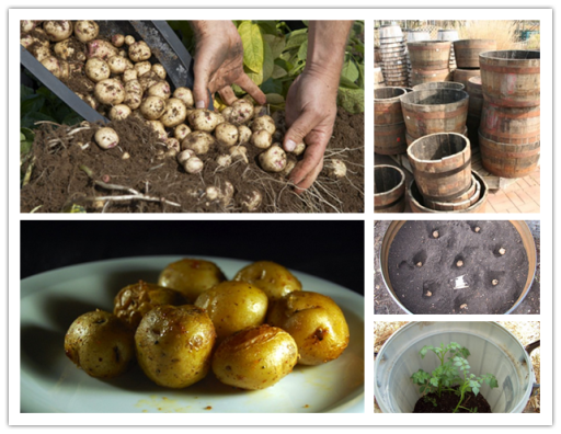 how to grow 100 pounds of potatoes in a barrel | DIY Tag ...