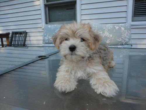 Adorable Registered Morkie Puppy He Is 9 Weeks Old Morkie Puppies Morkie Puppies