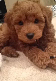 Pin By Gabby Gray On Favorites Goldendoodle Cute Dogs Doodle Dog