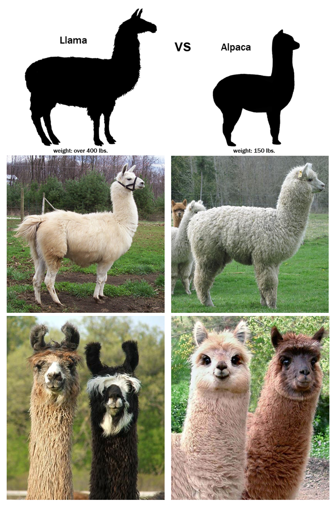 the difference between llamas and alpacas... basically alpacas are friendly looking and llamas always look like they are judging you -- I'm pinning this bc I love this description!