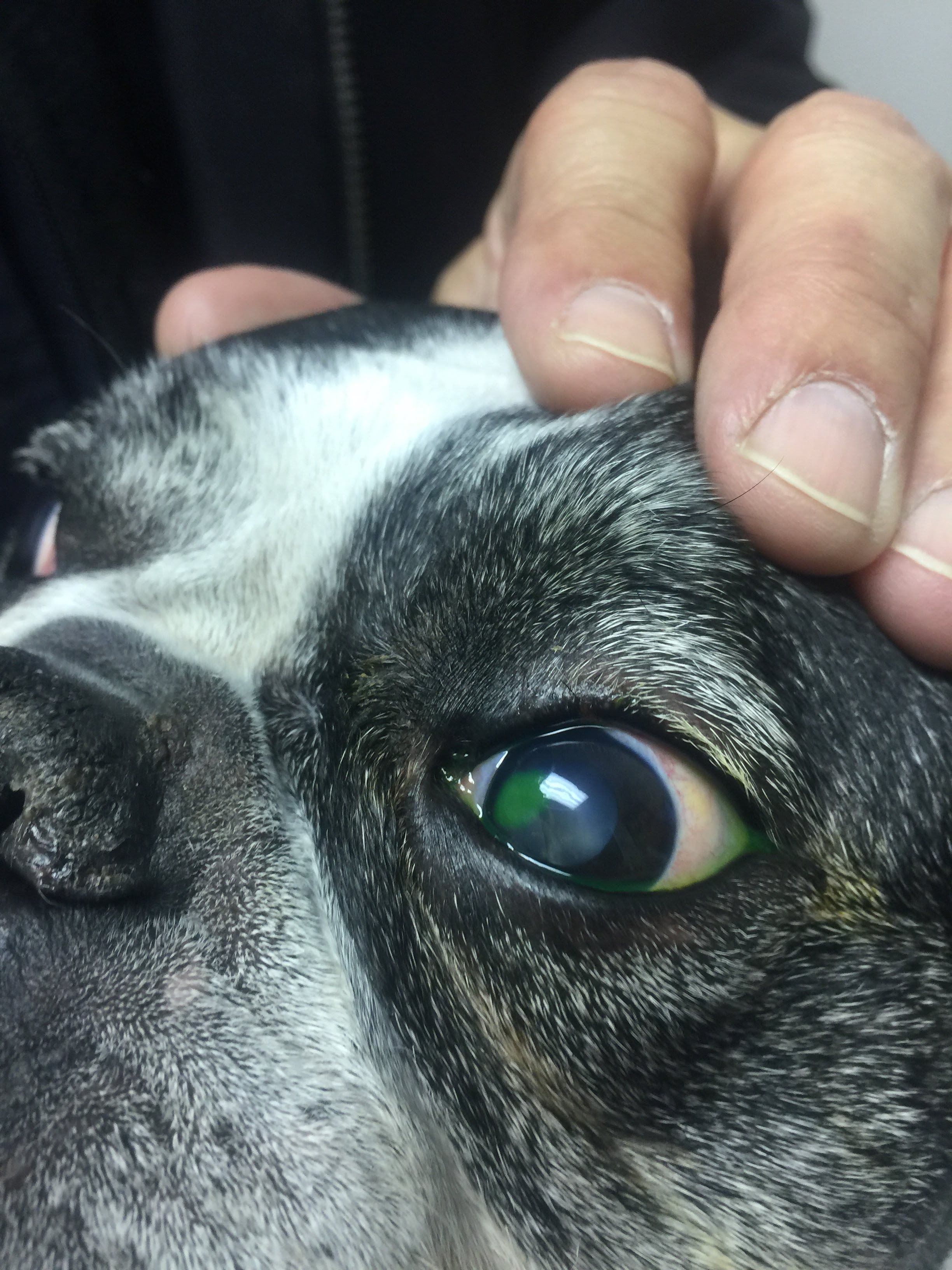corneal ulcer Cat eye problems, Eyes problems, Dog cat