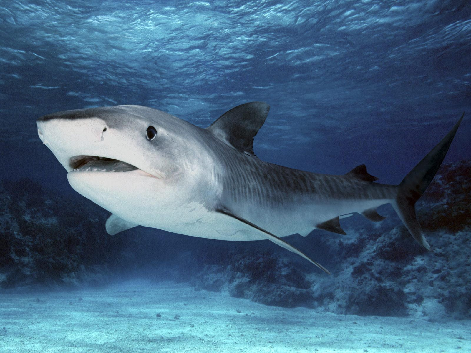 Tiger Shark Wallpaper Jpg Shark Pictures Great Barrier Reef Shark