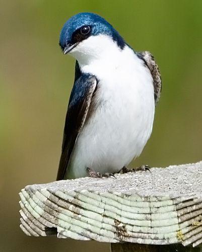 Tree Swallow (Tachycineta bicolor) by Mark Klotz, via Flickr