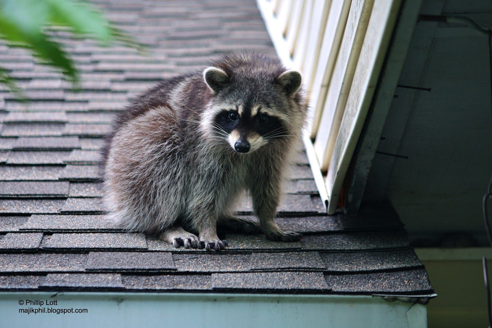 Raccoon On Roof Google Search Tiere