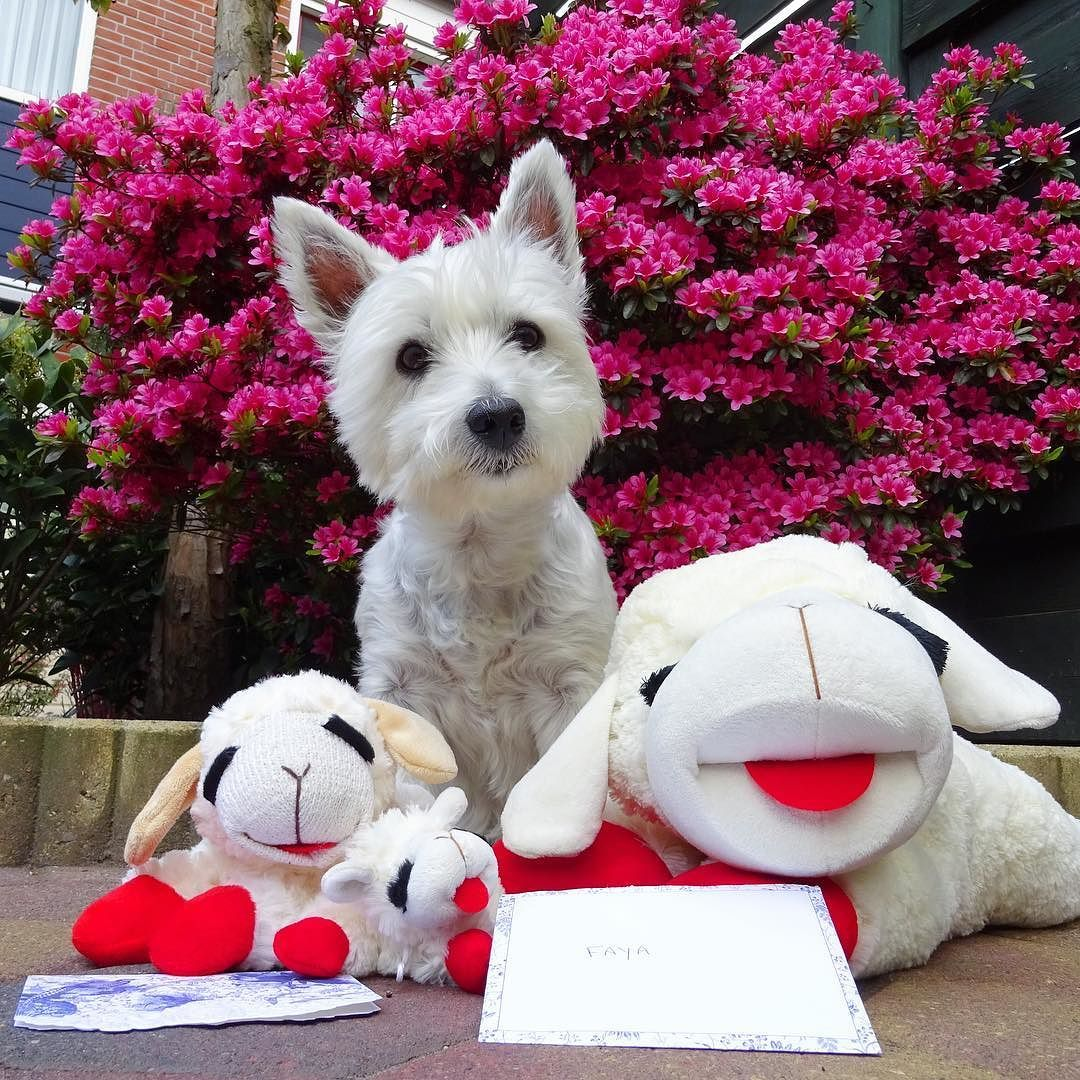 Thank you soooo much lovely @majormoxie and momma B. for sending me these 3 awesome lambies!  Best presents EVER!! Finally I can share the love for lambies!   #instawestie #westhighlandterrier #westhighlandwhiteterrier #whwt #westie #westies #westiegram #westiesofinstagram #westielove #westielovers #westiesarethebest #westiesarethebesties #westielife #westietude #westiebestie #westieoftheday #westiemoments #westielover #westiesofig #westitude #ilovemywestie #lovemywestie #dogsofinstagram…
