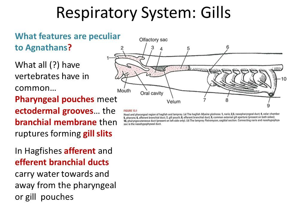image result for respiratory system of a lamprey