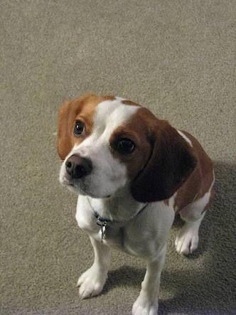 Beaglier Google Search Puppies Beagle Pets