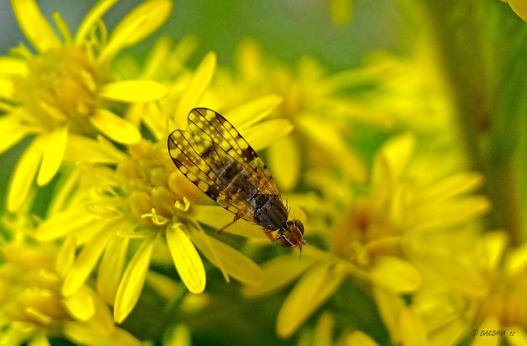 Mooie vleugels - Geleedpotigen (insect, spin, etc) - boorvlieg