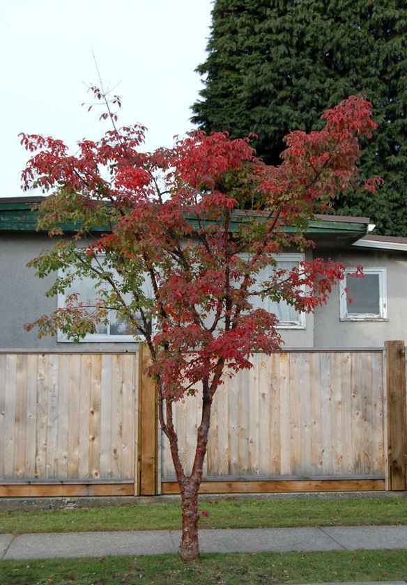 Full Size Picture Of Paperbark Maple Paper Bark Maple Acer Griseum Front Garden Front Yard Plants
