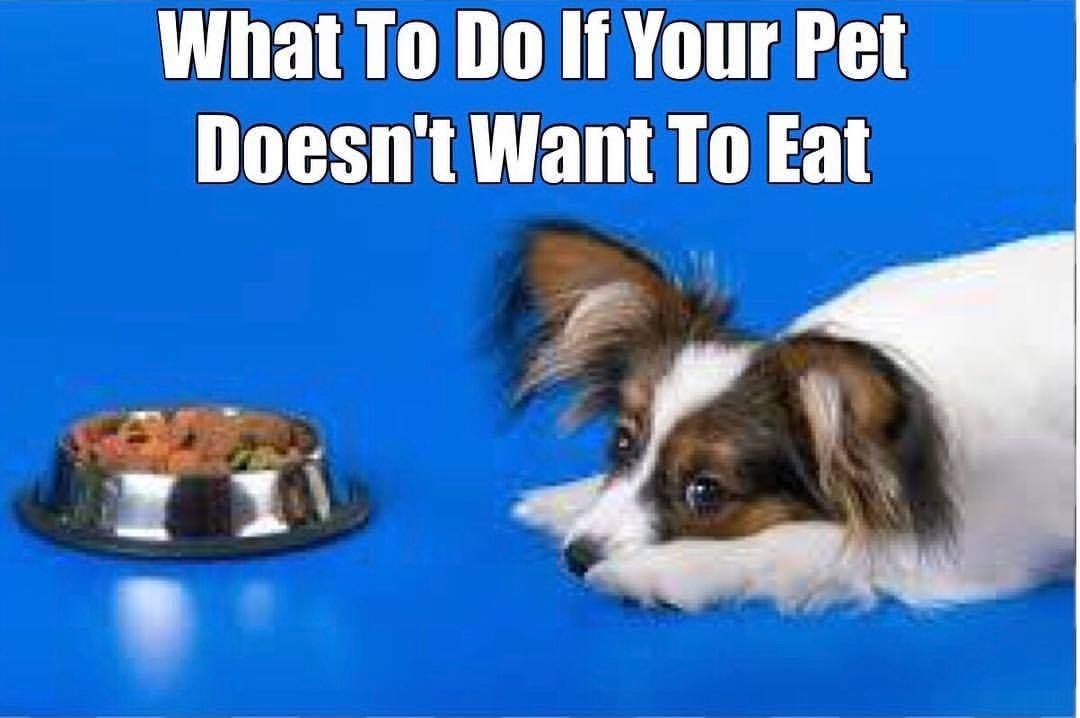 What To Do When Your Pet Doesn T Want To Eat Your Dog Pets Dogs