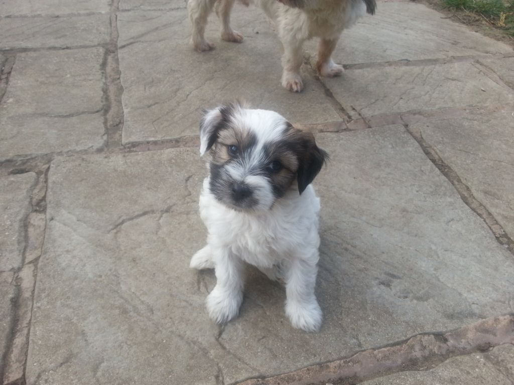 Tibetan Terrier Puppies Boys Doncaster South Yorkshire