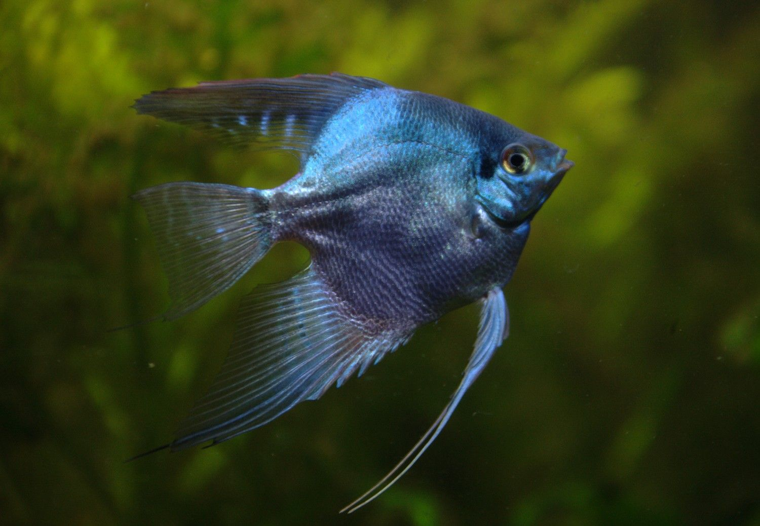 Freshwater aquarium fish angelfish - Angel Fish Platinum Blue