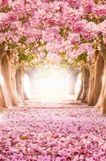 Cherry Blossom Wallpaper Cherry Blossom Wallpaper Scenery Cute Wallpapers