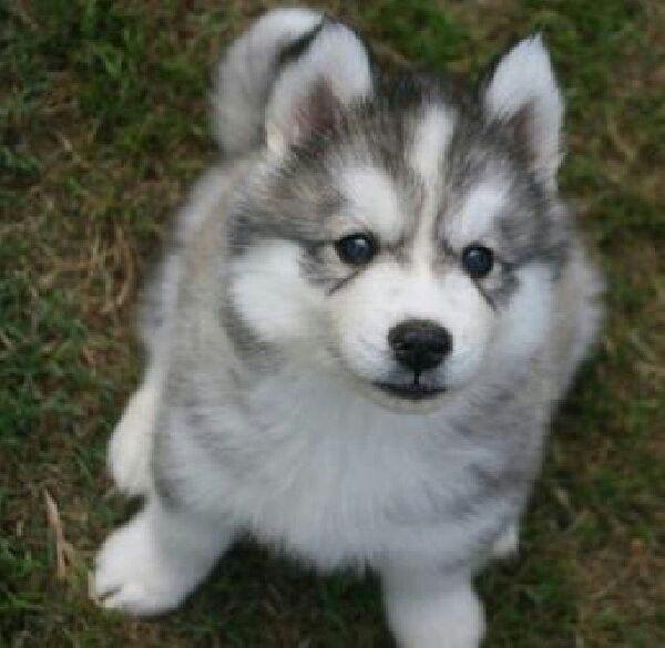40 Cute Siberian Husky Puppies Pictures Siberian Husky Dog