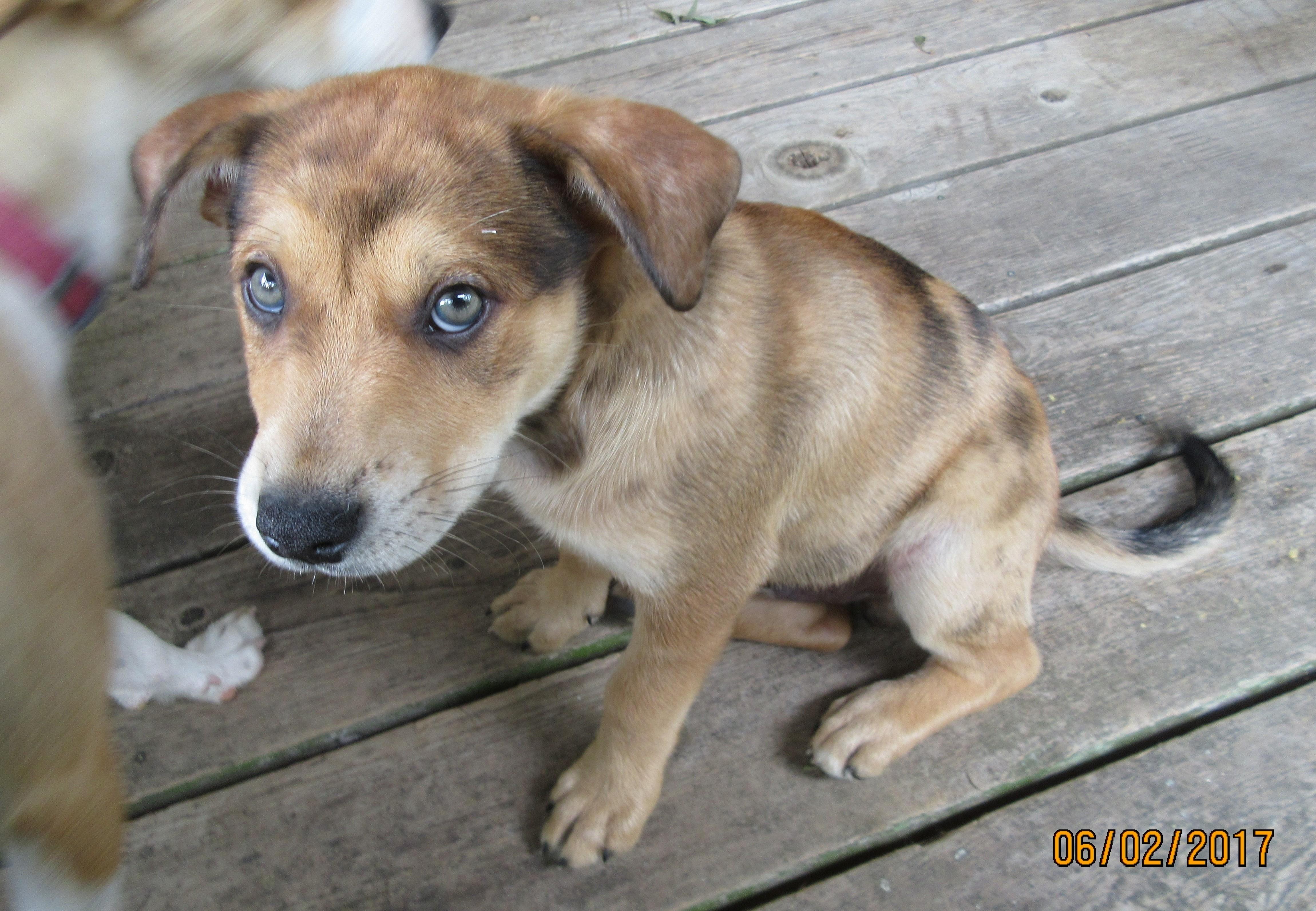 Adopt Ash on Dog mixes, Australian cattle dog, Dogs