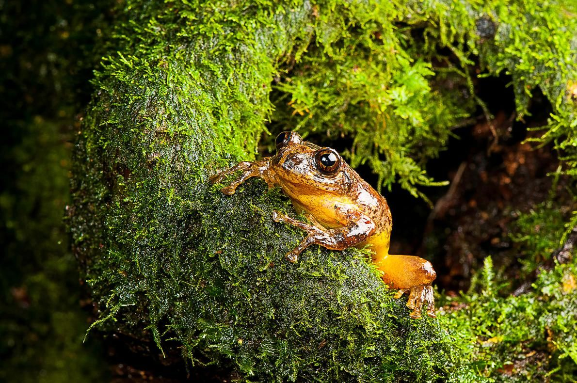 'Extinct' Frog Rediscovered After 150 Years, Eats Mom's