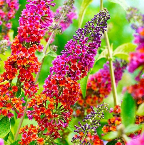 I Want This Rainbow Butterfly Bush I Have Purple White Lilac But This Is Beautiful Butterfly Bush Flowers Beautiful Flowers