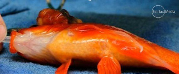 Goldfish Gets Brain Tumor Removed Will Just Keep Swimming For Years To Come Pet Goldfish Goldfish Goldfish Names