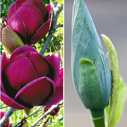 Magnolien richtig schneiden Magnolien, Pflanzen und Garten