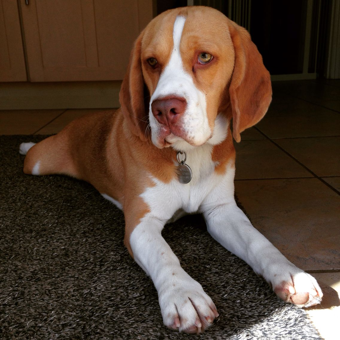 Brown Nose Beagle Boy Beagle Animals And Pets Animals