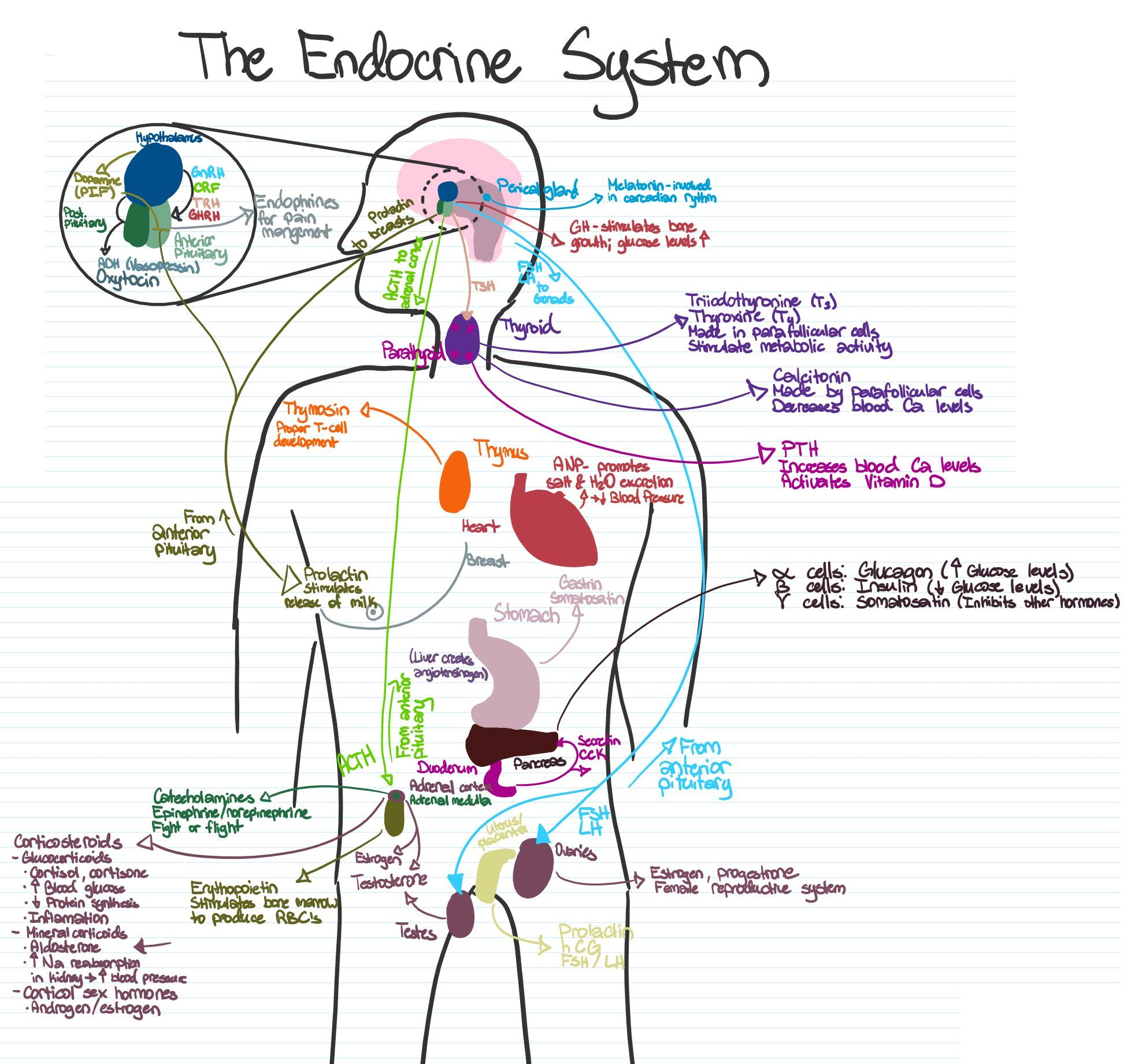 The Most Concise Visual Representation Of The Endocrine