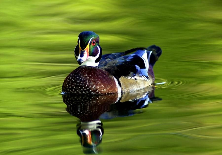 Get 57 Discount On Your Purchase From Allysenbrown At Oranum Bird Wallpaper Wood Ducks Duck