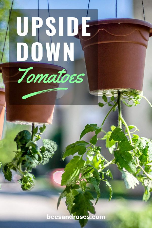 Top Seven Tips For Growing Upside Down Tomatoes is part of Upside down tomato planter, Tomato planter, Diy planters, Container gardening vegetables, Upside down plants, Bucket planters - I love to grow my own tomatoes because my family and I eat a lot of them! I try my best to work in a little lycopene wherever I can in my own dinner and lunch recipes  If you are short on garden space, or just want to add a little greenery somewhere else, try to grow your own upside down tomatoes today