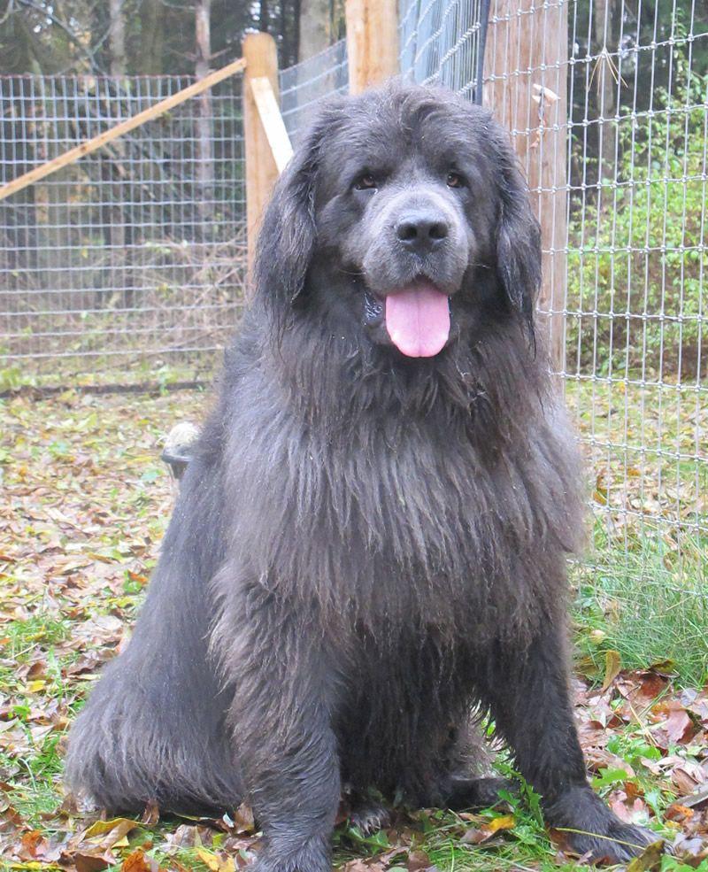 35 very beautiful newfoundland dog pictures - Grey Newfoundland Dog