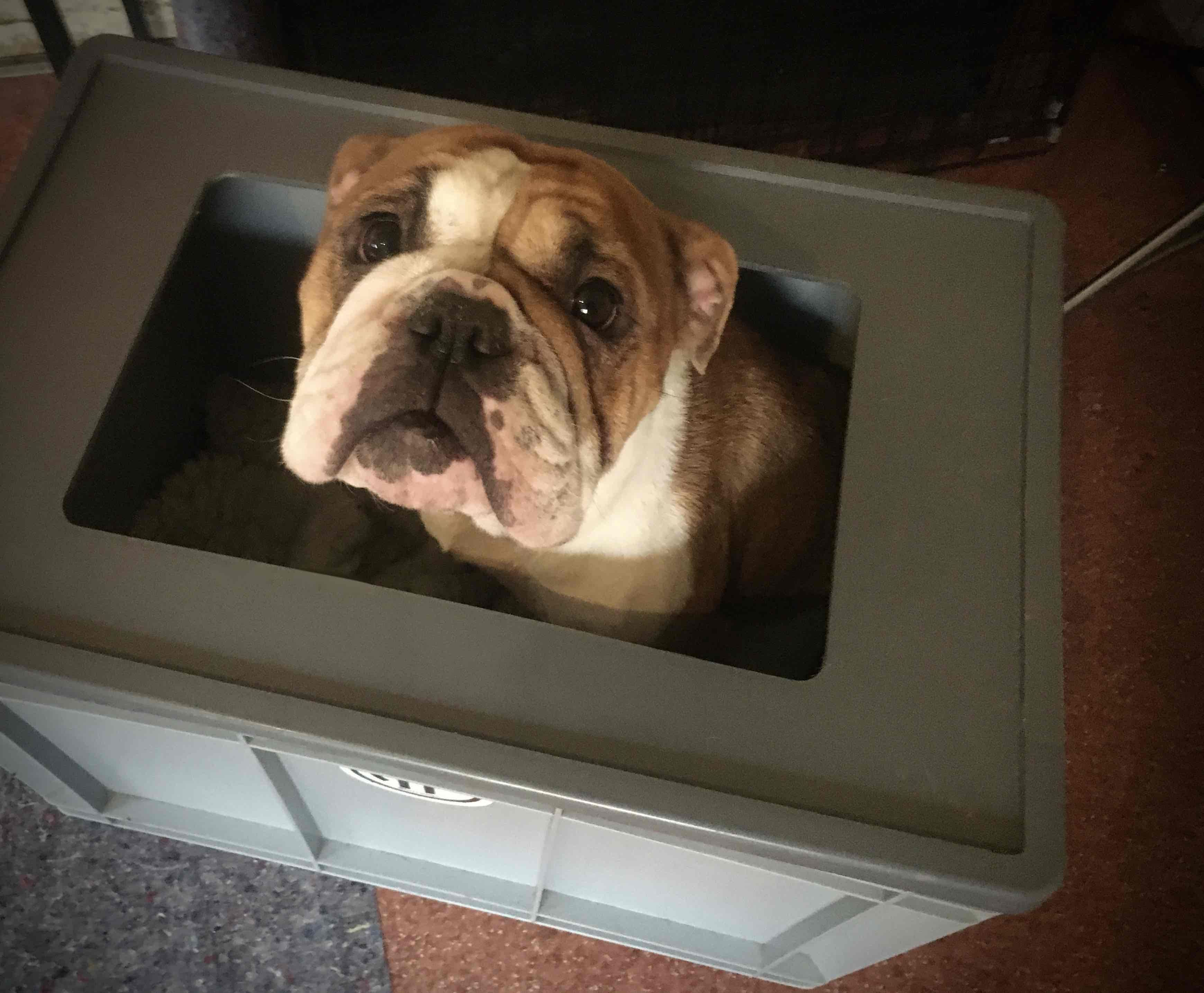 Ap Daphne In The Puppy Box Continental Bulldog Welpen Continental