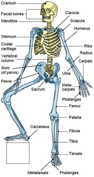 Bones of the Axial Skeleton | CC Cycle 3 | Pinterest | Axial ...