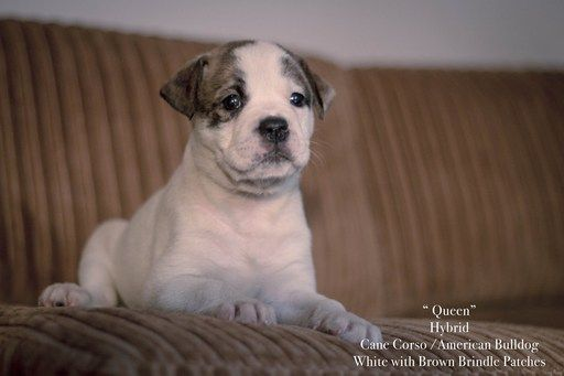 American Bulldog Cane Corso Mix Puppy For Sale In Columbus Oh