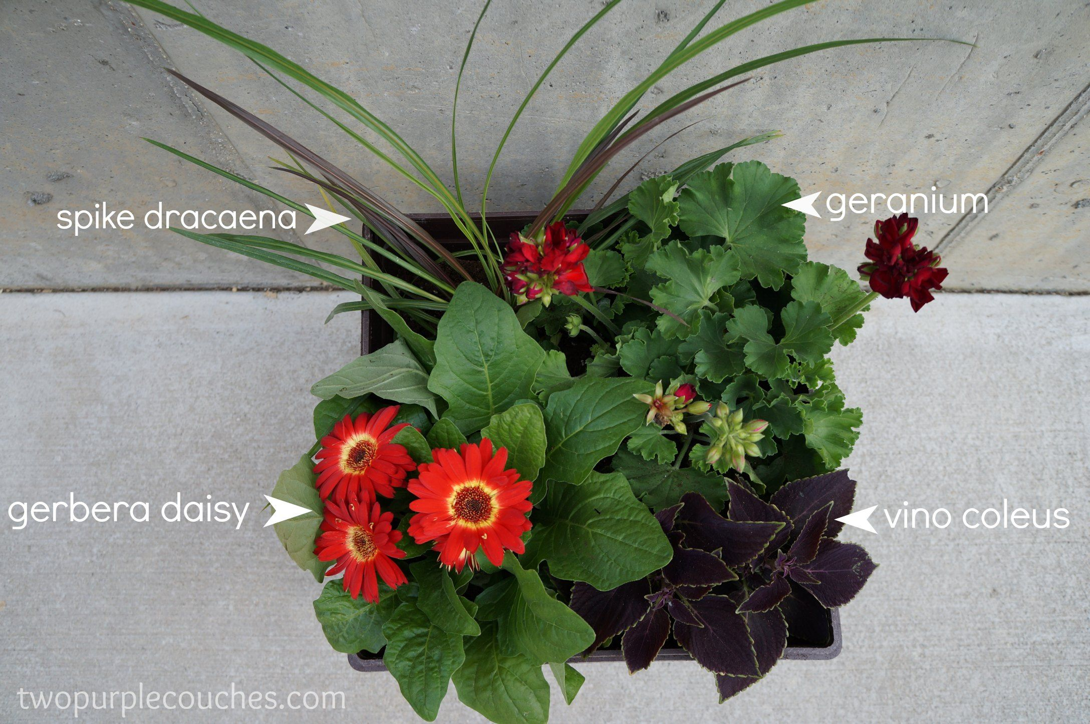 Planting Gerbera Daisies In Containers Google Search Container