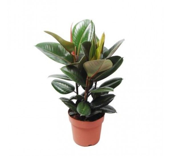 Ficus Elastica Baby Rubber Plant Online At
