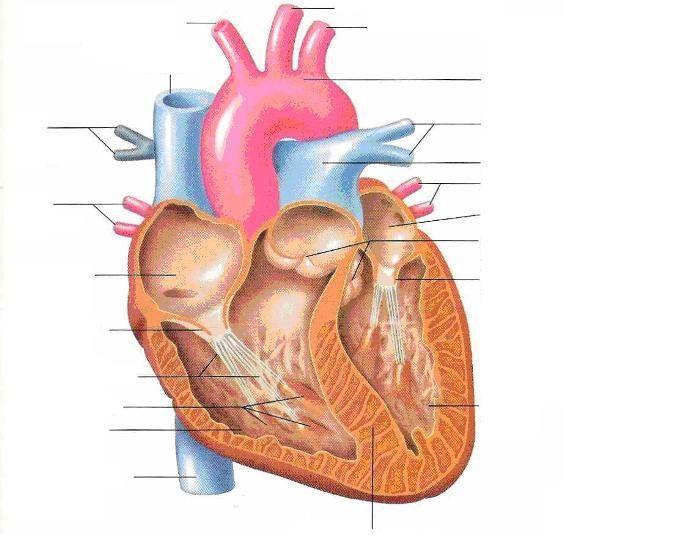 Label the Heart | Heart diagram, Art worksheets printables ...