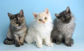 Russian Blue Nebelung Cat Breed Information All Kitties