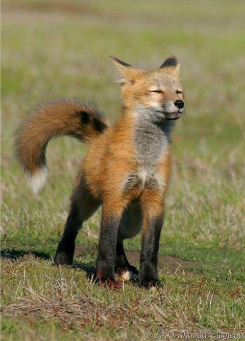 red fox animal wildlife photography animals pinterest fuchs tier und sch ne bilder. Black Bedroom Furniture Sets. Home Design Ideas