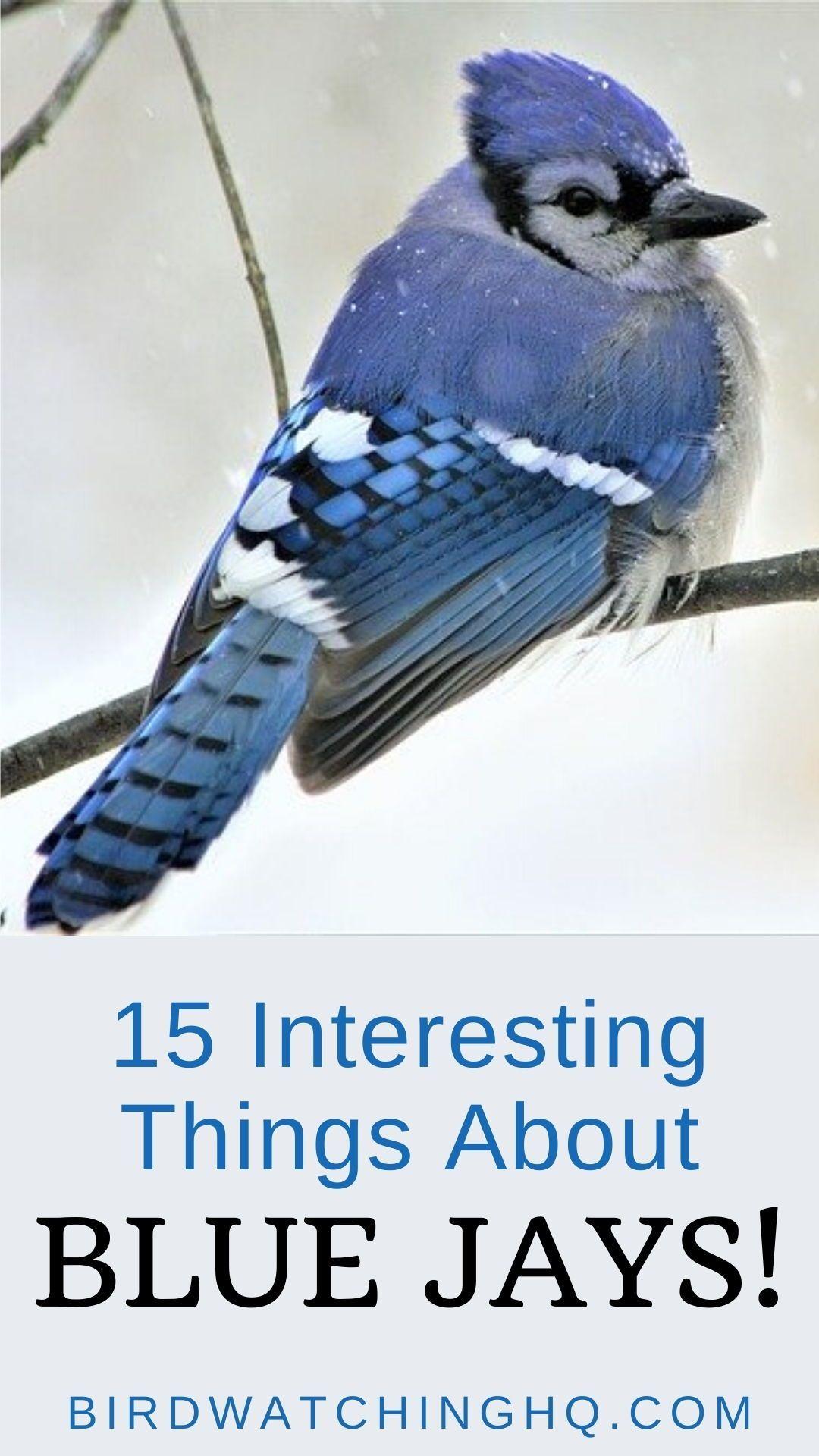 15 FUN & INTERESTING Facts about Blue Jays! [2020] Bird