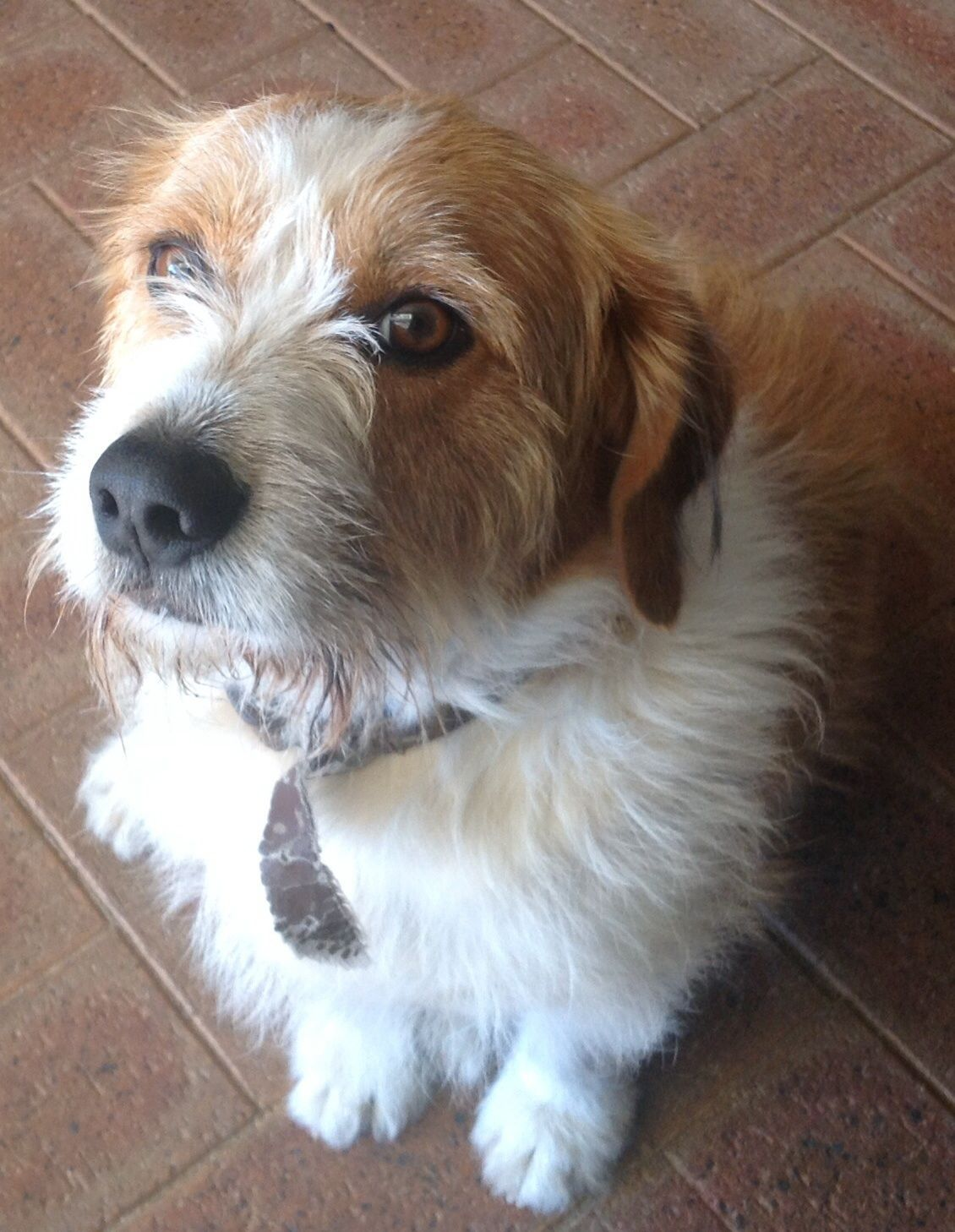 Bosun Pawshake Pets Rock Dogs Shih Tzus