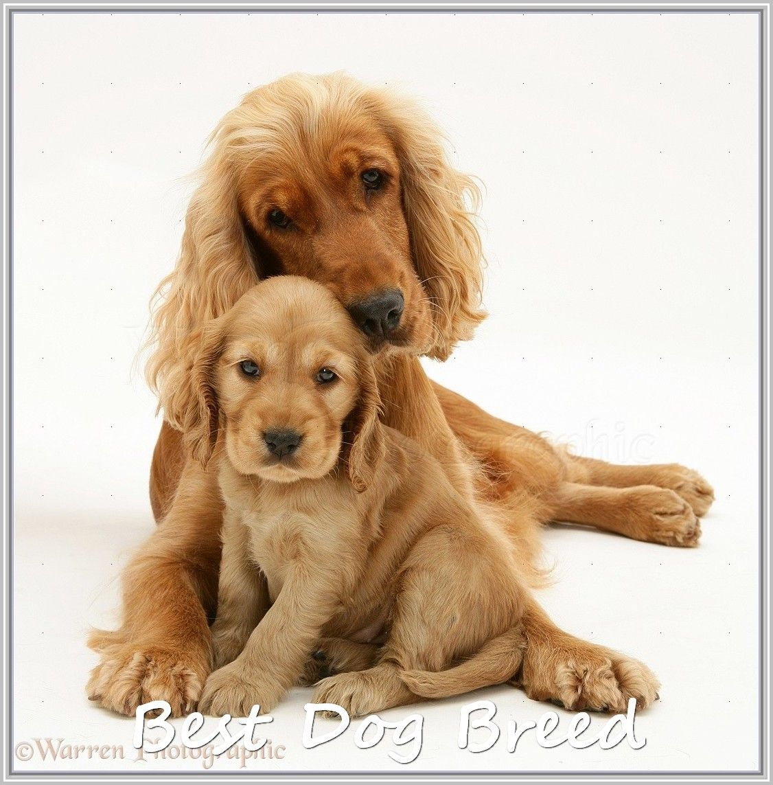 Tips For Finding A Great Puppy Trasedogs Golden Cocker Spaniel Dogs Puppies