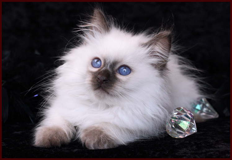 Balinese Kitten Are They Not The Cutest Things Ever I Want One Or Two Of These Sweet Kitties Balinese Cat Siamese Cats Cutest Kittens Ever
