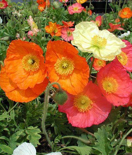 50000 Bulk Poppy Seeds Wonderland Mix Bulk Flower Seed For Sale