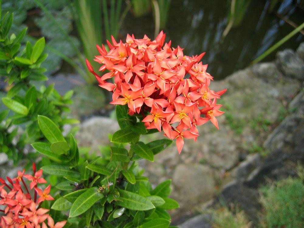 IXORA (IN THE PHILIPPINES, SANTAN Plants, Planting