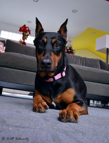 Xena Doberman Love Big Puppies Doberman