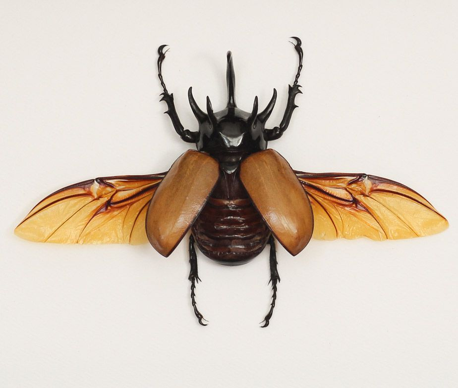 Rhinoceros beetle, this is gonna be one of the many tattoos I'm gonna get in the future