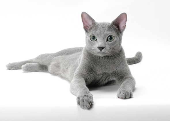 What Are the Top 10 Cat Breeds in America? Russian blue
