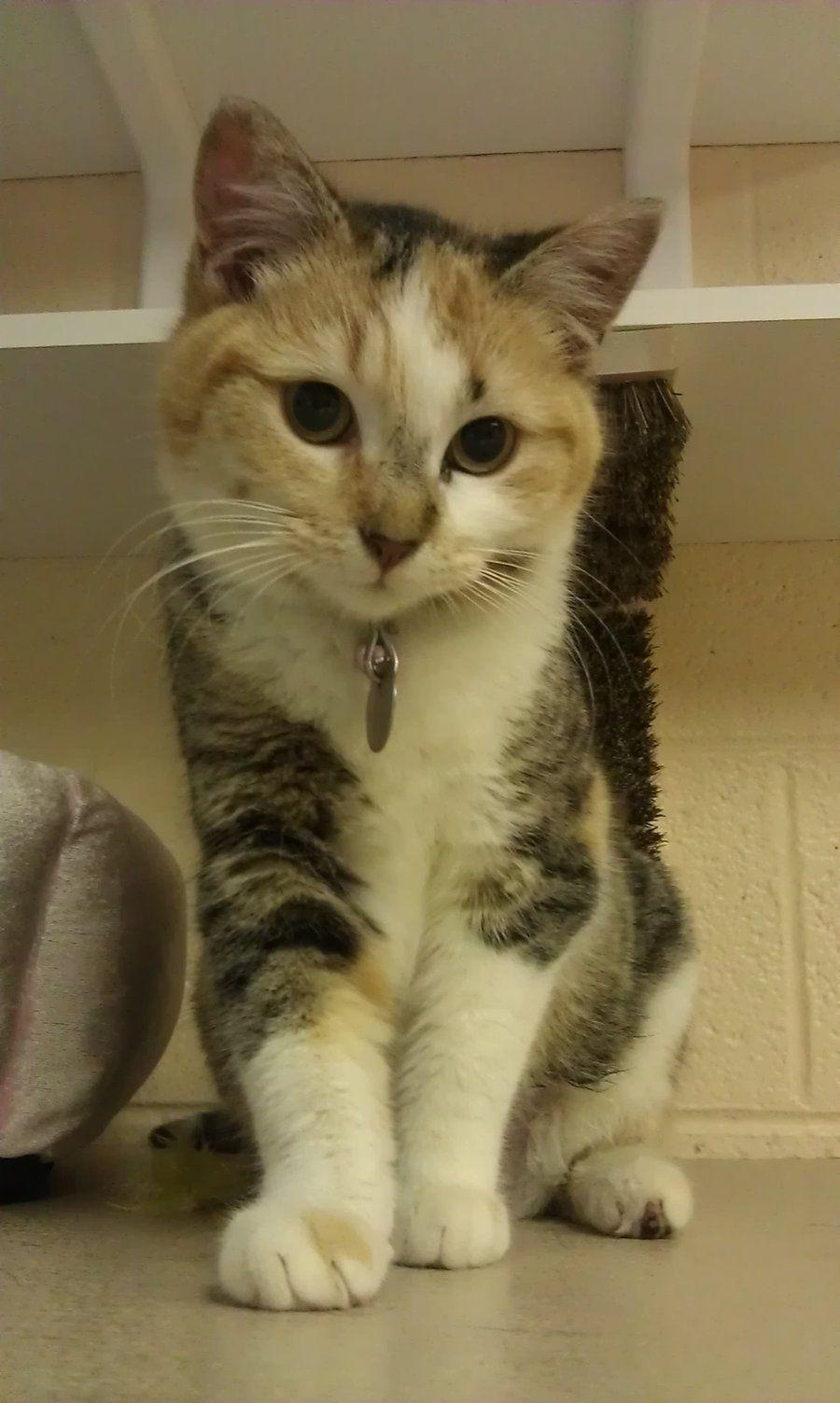 Pearl By Thatonecatnamedsuki Deviantart Com On Deviantart Kittens Cutest I Love Cats Calico Cat