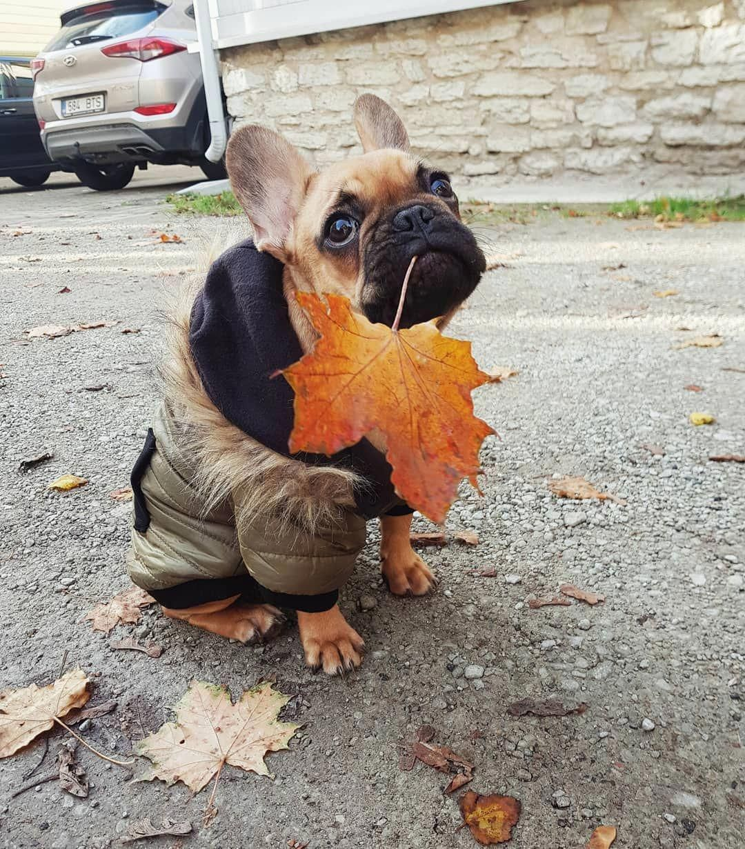 French Bulldog Coats To Keep Your Pup Warm And Stylish